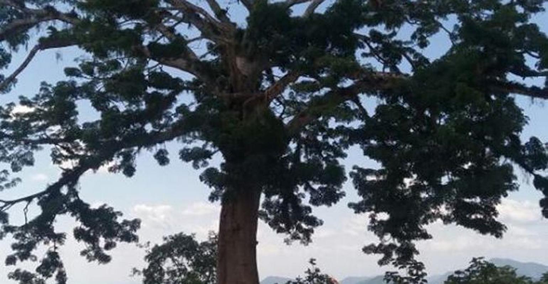 La Ceiba en La Cansona.
